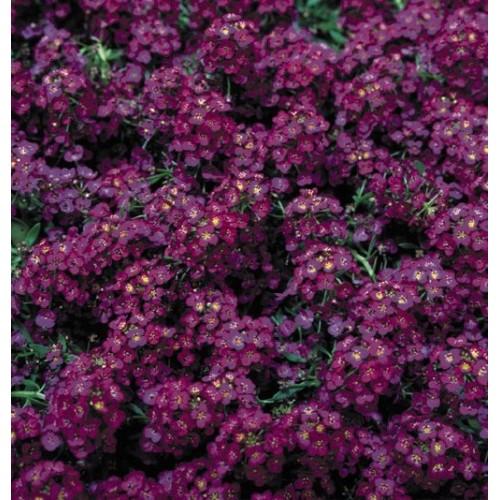 Seminte ALYSSUM maritima WONDERLAND Deep Purple - Ciucusoara