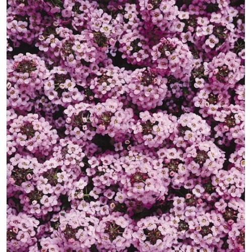 Seminte ALYSSUM maritima WONDERLAND Lavender - Ciucusoara