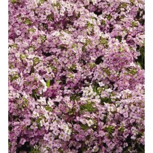 Seminte ALYSSUM maritima WONDERLAND Pink - Ciucusoara
