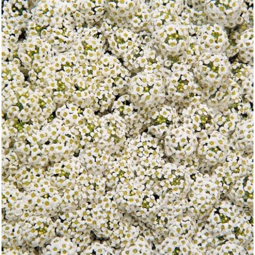 Seminte ALYSSUM maritima WONDERLAND White - Ciucusoara