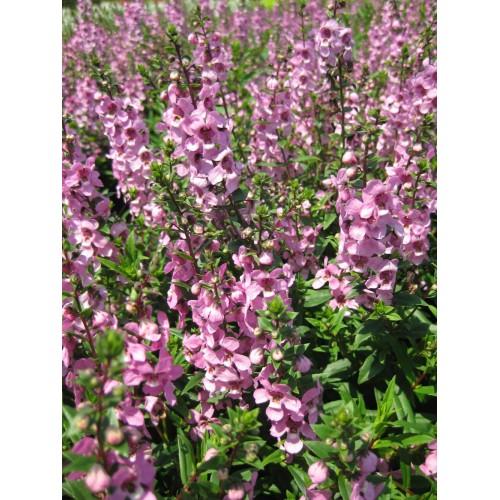 Seminte ANGELONIA angustifolia SERENITA Lavender Pink