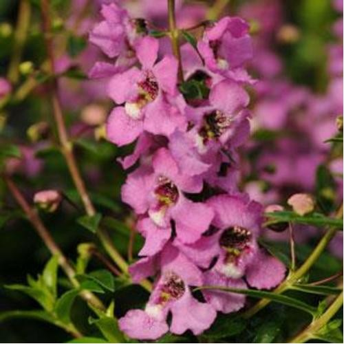 Seminte ANGELONIA angustifolia SERENITA Pink