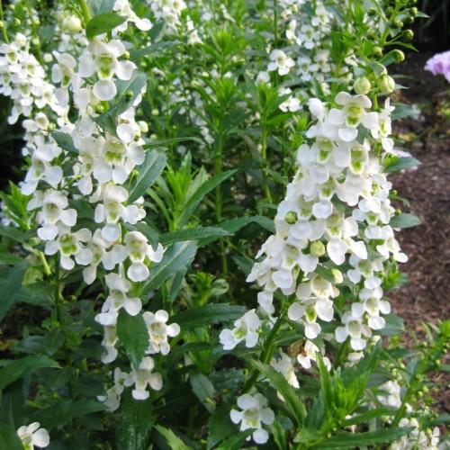 Seminte ANGELONIA angustifolia SERENITA White