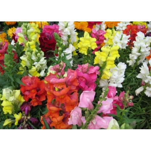 Seminte ANTIRRHINUM majus MAGIC F1 Mix - Gura  leului