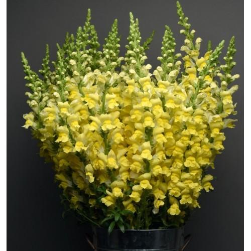 Seminte ANTIRRHINUM majus MARYLAND F1 Bright Yellow - Gura  leului