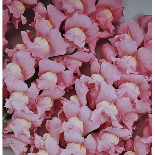 Seminte ANTIRRHINUM majus MARYLAND F1 True Pink - Gura  leului