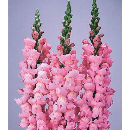 Seminte ANTIRRHINUM majus MARYLAND F1 Yosemite Pink - Gura  leului