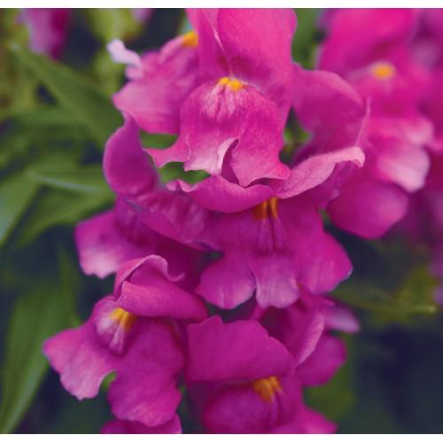 Seminte ANTIRRHINUM majus  SNAPSHOT F1 Purple - Gura  leului