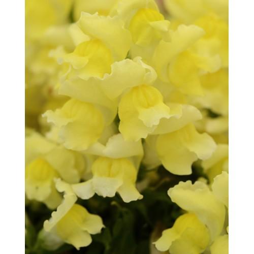 Seminte ANTIRRHINUM majus  SNAPSHOT F1 Yellow - Gura  leului