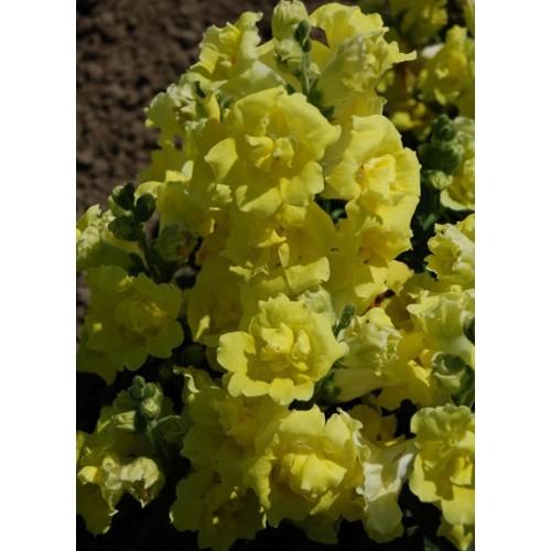 Seminte ANTIRRHINUM majus Twinny F1 Yellow Shades - Gura leului