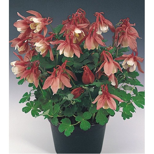Seminte AQUILEGIA flabellata CAMEO F1 Rose&White - Caldaruse