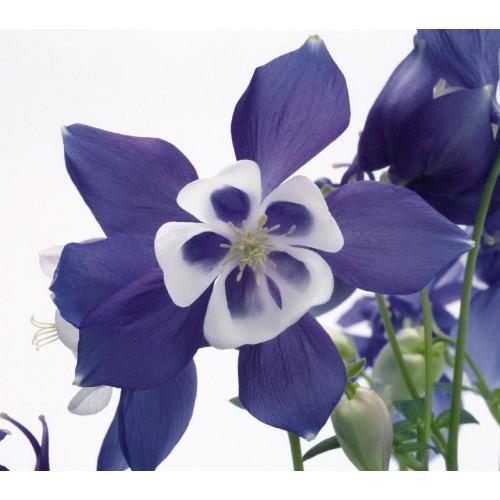 Seminte AQUILEGIA hybrida SPRING MAGIC F1 Blue&White - Caldaruse