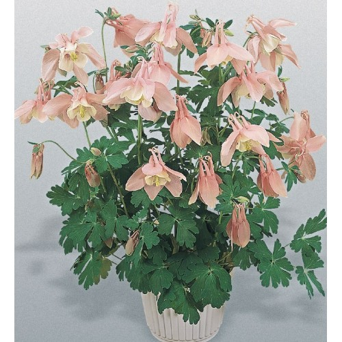 Seminte AQUILEGIA hybrida SPRING MAGIC F1 Pink&White - Caldaruse