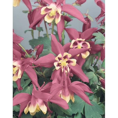 Seminte AQUILEGIA hybrida SPRING MAGIC F1 Rose &Ivory - Caldaruse