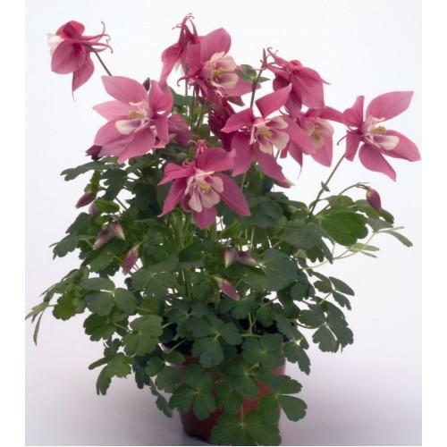 Seminte AQUILEGIA hybrida SPRING MAGIC F1 Rose&White - Caldaruse