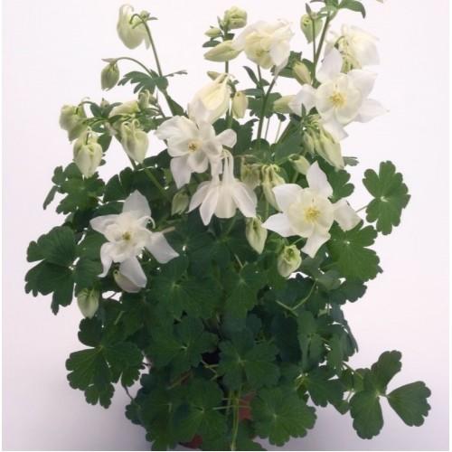 Seminte AQUILEGIA hybrida SPRING MAGIC F1 White - Caldaruse