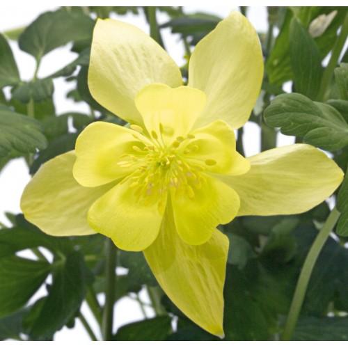 Seminte AQUILEGIA hybrida SPRING MAGIC F1 Yellow - Caldaruse
