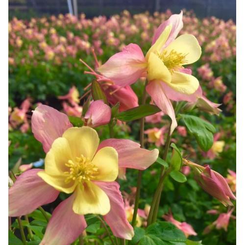 Seminte AQUILEGIA hybrida SWAN F1 Pink&Yellow - Caldaruse