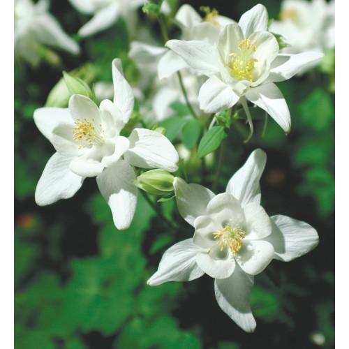 Seminte AQUILEGIA hybrida SWAN F1 White - Caldaruse