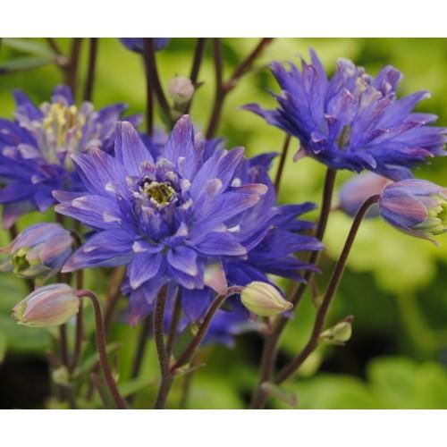 Seminte AQUILEGIA vulgaris CLEMENTINE Blue - Caldaruse