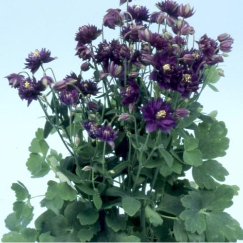 Seminte AQUILEGIA vulgaris CLEMENTINE Dark Purple - Caldaruse