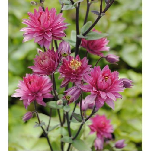 Seminte AQUILEGIA vulgaris CLEMENTINE Red - Caldaruse