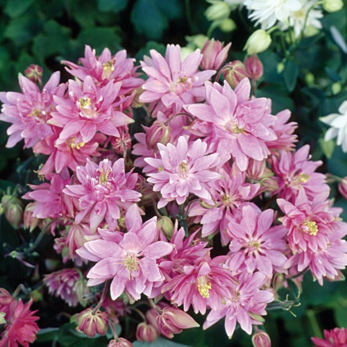 Seminte AQUILEGIA vulgaris CLEMENTINE Rose - Caldaruse
