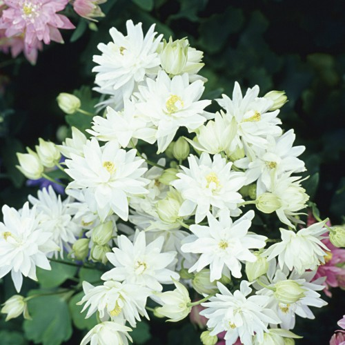 Seminte AQUILEGIA vulgaris CLEMENTINE White - Caldaruse