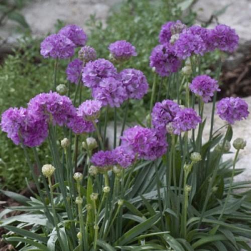 Seminte ARMERIA pseudarmeria BALLERINA Lilac - Limba pestelui