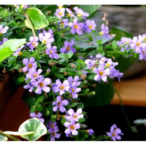 Seminte BACOPA cordata - Bluetopia - Floare de zapada