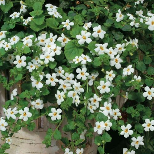 Seminte BACOPA cordata - Snowtopia - Floare de zapada