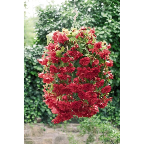 Seminte BEGONIA tuberhybrida ILLUMINATION F1 Scarlet - Begonia curgatoare