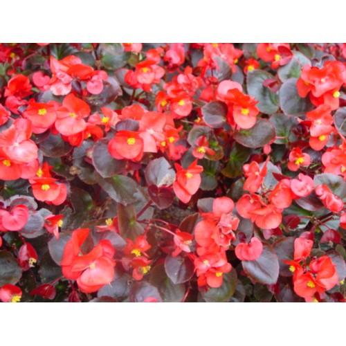 Seminte BEGONIA semperflorens NIGHTLIFE F1 Red - Ghetisoara