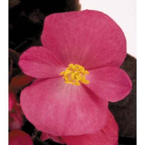 Seminte BEGONIA semperflorens NIGHTLIFE F1 Deep Rose - Ghetisoara