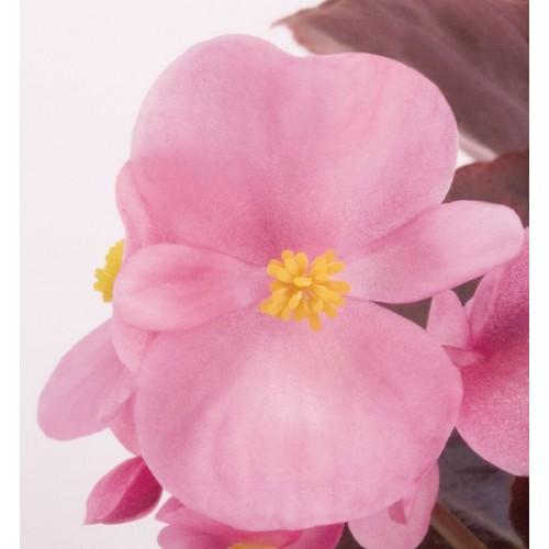 Seminte BEGONIA semperflorens NIGHTLIFE F1 Pink - Ghetisoara