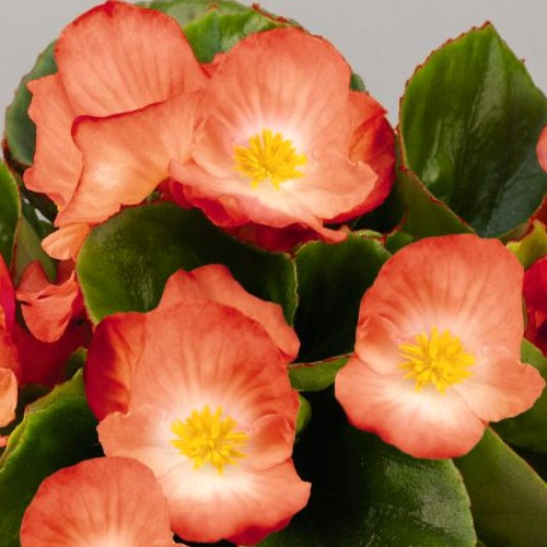 Seminte BEGONIA semperflorens SPRINT PLUS F1 Orange Bicolor - Ghetisoara