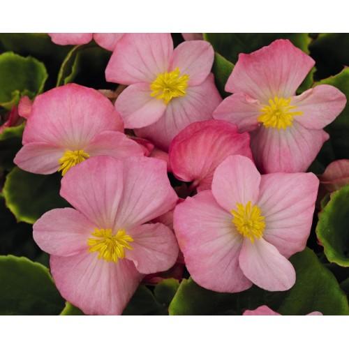 Seminte BEGONIA semperflorens SPRINT PLUS F1 Pink - Ghetisoara