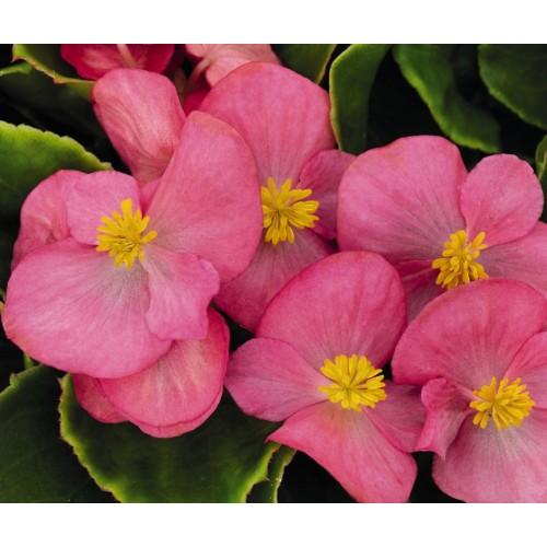 Seminte BEGONIA semperflorens SPRINT PLUS F1 Rose - Ghetisoara