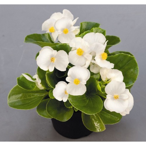 Seminte BEGONIA semperflorens SPRINT PLUS F1 White - Ghetisoara