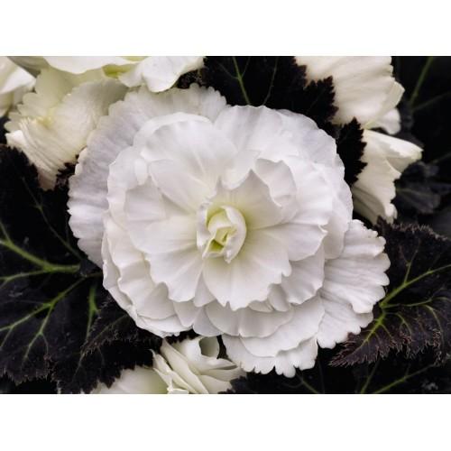 Seminte BEGONIA tuberhybrida NONSTOP MOCCA F1 White