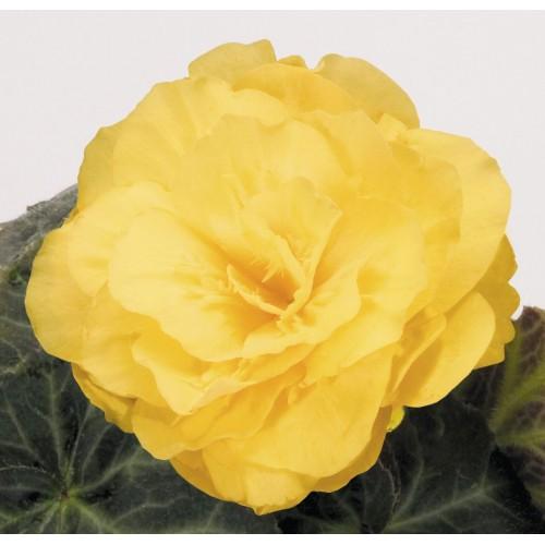 Seminte BEGONIA tuberhybrida NONSTOP MOCCA F1 Yellow