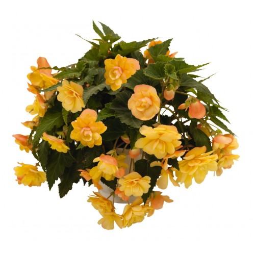 Seminte BEGONIA tuberhybrida ILLUMINATION F1 Apricot - Begonia curgatoare