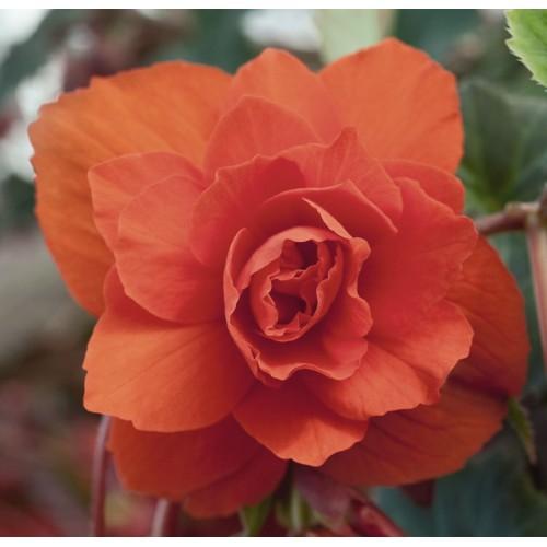 Seminte BEGONIA tuberhybrida ILLUMINATION F1 Orange - Begonia curgatoare