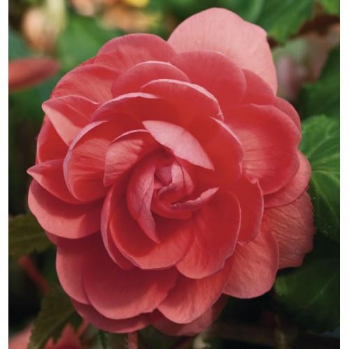 Seminte BEGONIA tuberhybrida ILLUMINATION F1 Salmon Pink - Begonia curgatoare