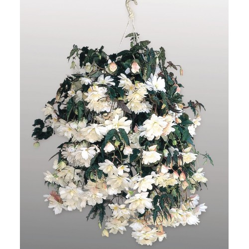 Seminte BEGONIA tuberhybrida ILLUMINATION F1 White - Begonia curgatoare