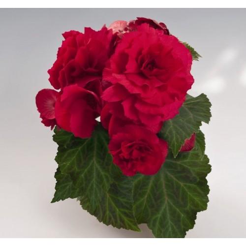 Seminte BEGONIA tuberhybrida NONSTOP F1 Deep Rose