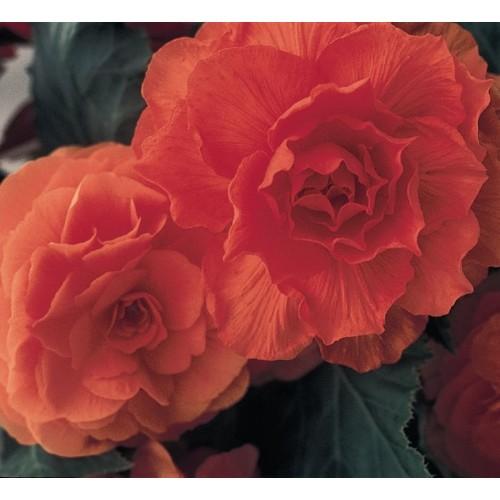 Seminte BEGONIA tuberhybrida NONSTOP F1 Orange