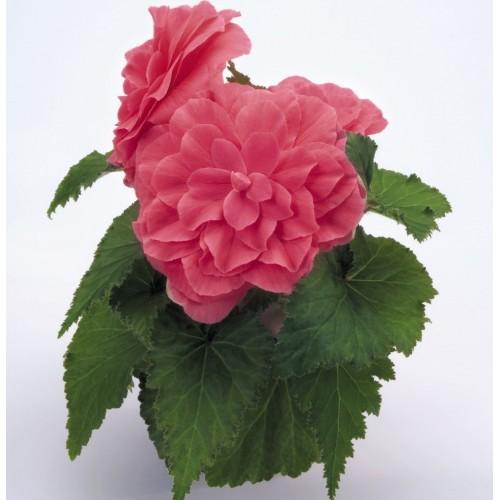 Seminte BEGONIA tuberhybrida NONSTOP F1 Pink