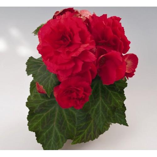 Seminte BEGONIA tuberhybrida NONSTOP F1 Red