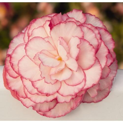 Seminte BEGONIA tuberhybrida NONSTOP F1 Rose Petticoat